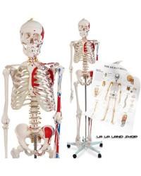 KOSTUR ZA ANATOMIJU - Sa mišićnim zonama